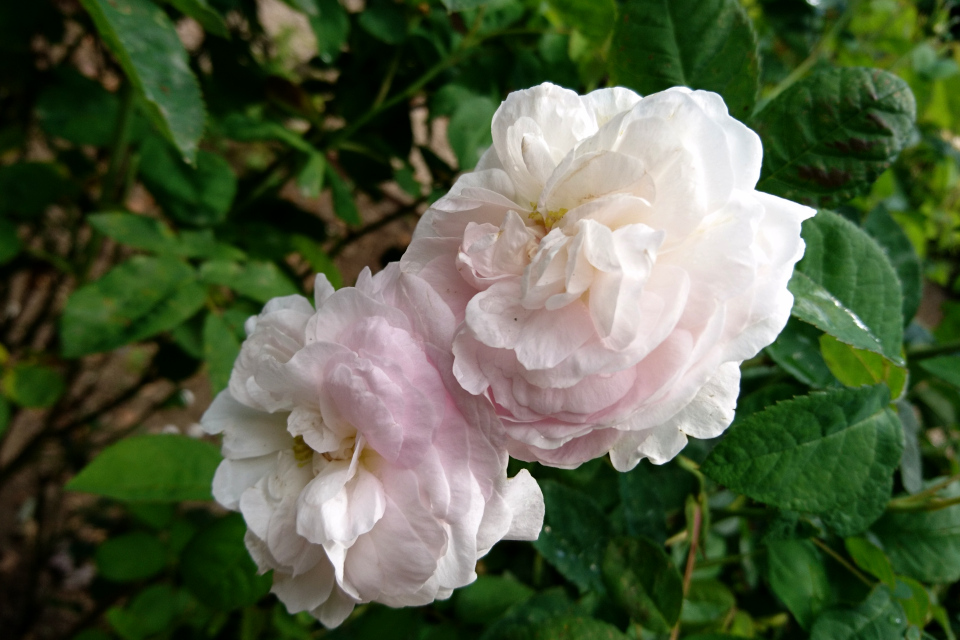 Галльская роза Duchess de Montebello. Фото 3 июл. 2019, г. Фредерисия / Fredericia, Дания
