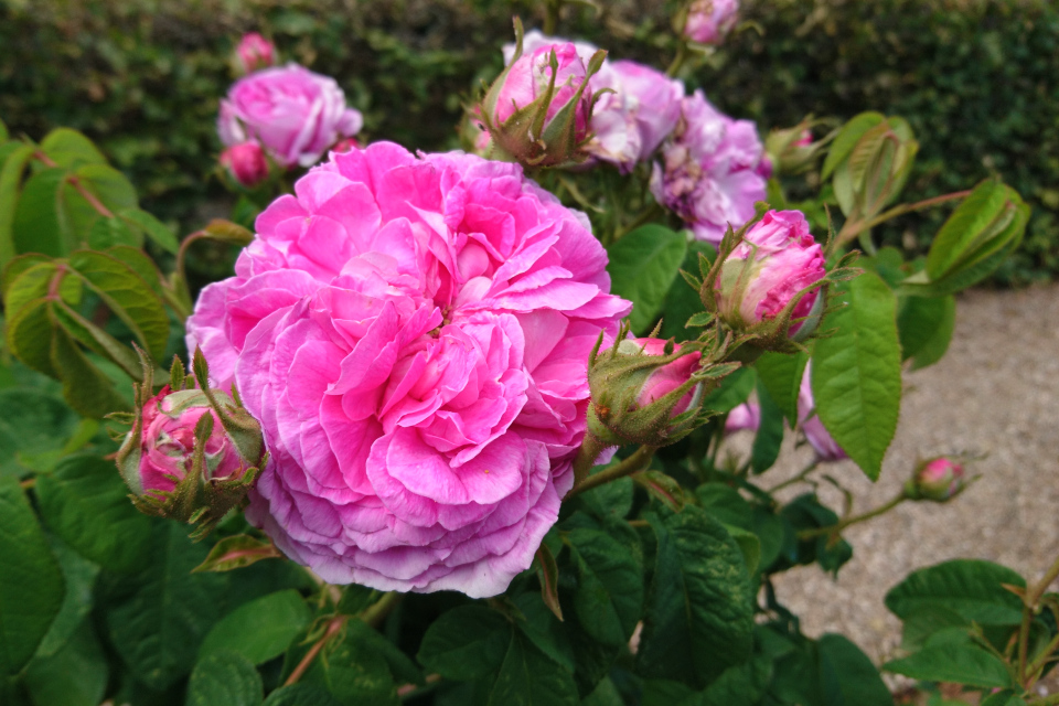 Галльская роза Rose du Maitre d'Ecole. Фото 3 июл. 2019, г. Фредерисия / Fredericia, Дания