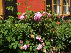 Исторические розы музея города Фредерисия