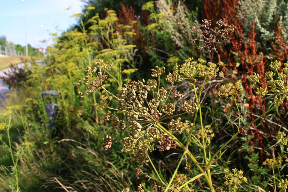 Семена пастенака, г. Обюхой / Åbyhøj, Дания