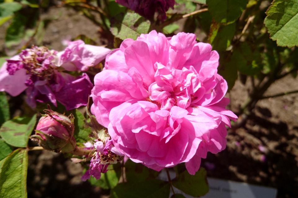 Портлендская роза Rose du Roi. Фото 3 июл. 2019, г. Фредерисия / Fredericia, Дания