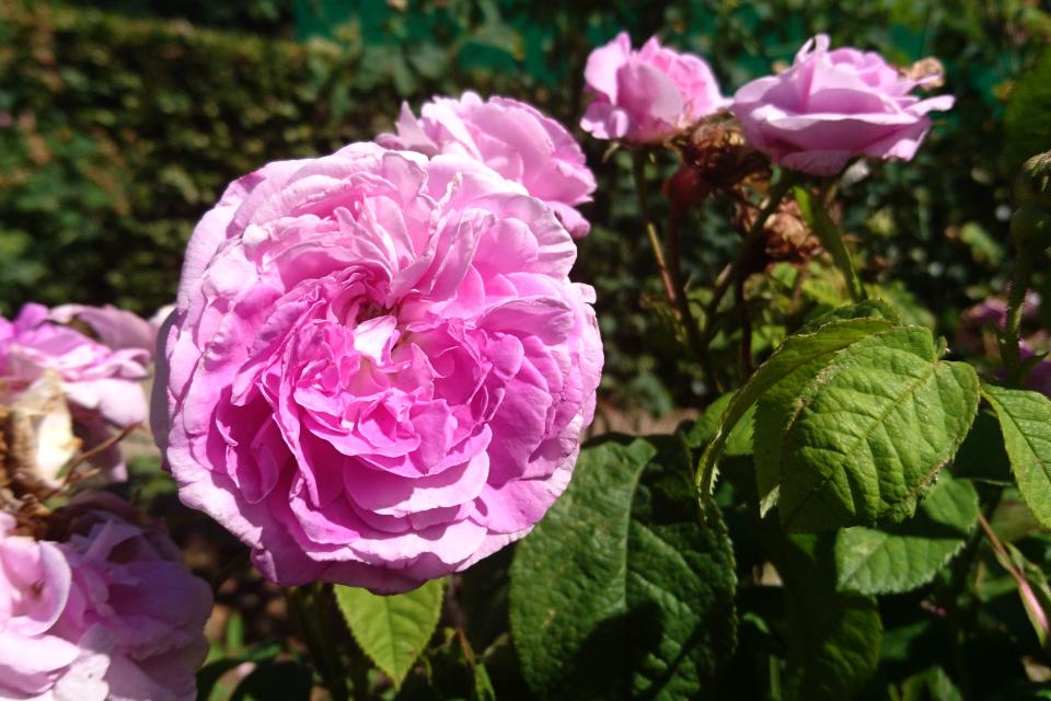 Роза Центифолия La pucelle. Фото 3 июл. 2019, г. Фредерисия / Fredericia, Дания