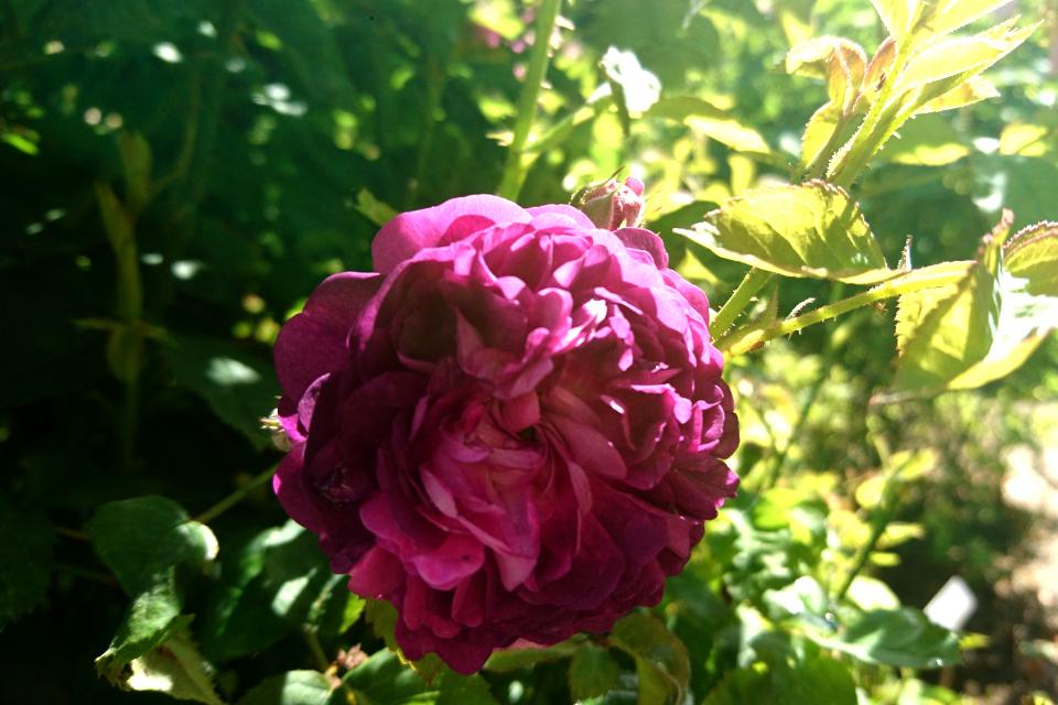 Роза Центифолия 'Ombre Parfait'. Фото 3 июл. 2019, г. Фредерисия / Fredericia, Дания