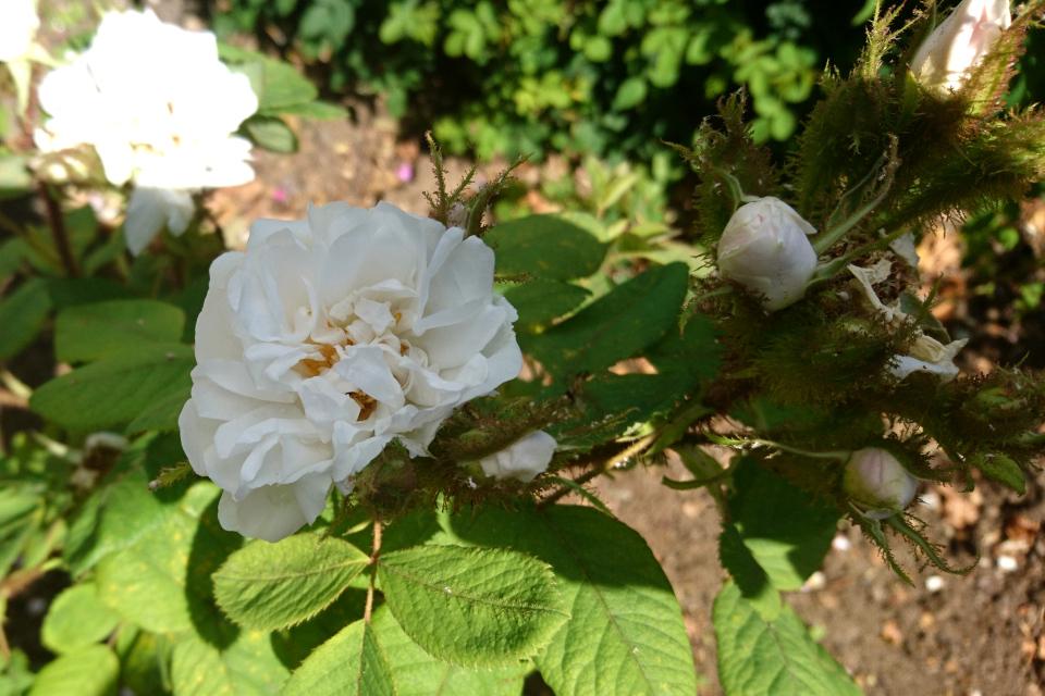 Роза Центифолия Shailer's White Moss. Фото 3 июл. 2019, г. Фредерисия / Fredericia, Дания