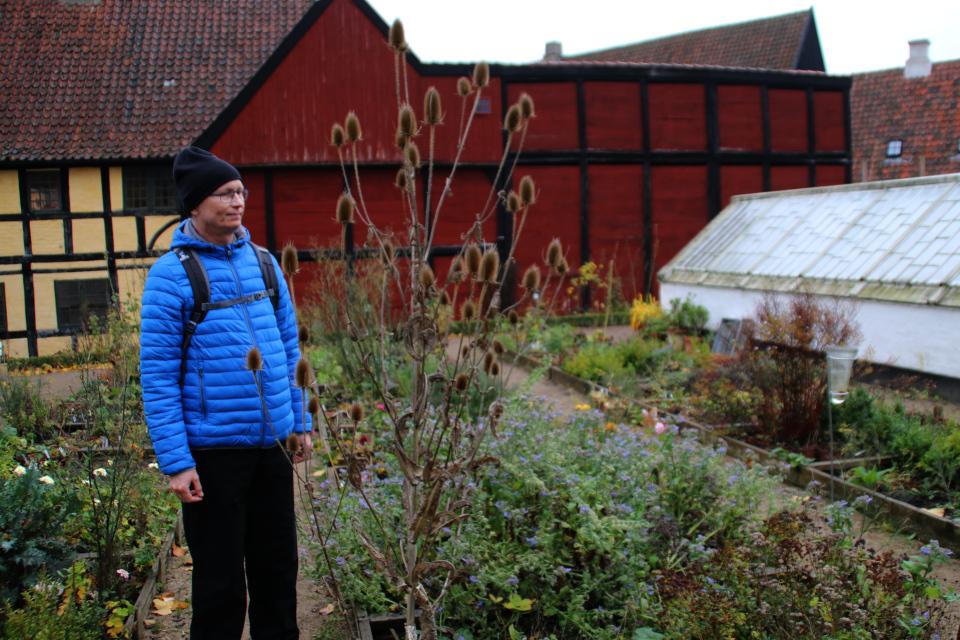 Отцвевшая ворсянка с декоративными соплодиями на исторических огородах