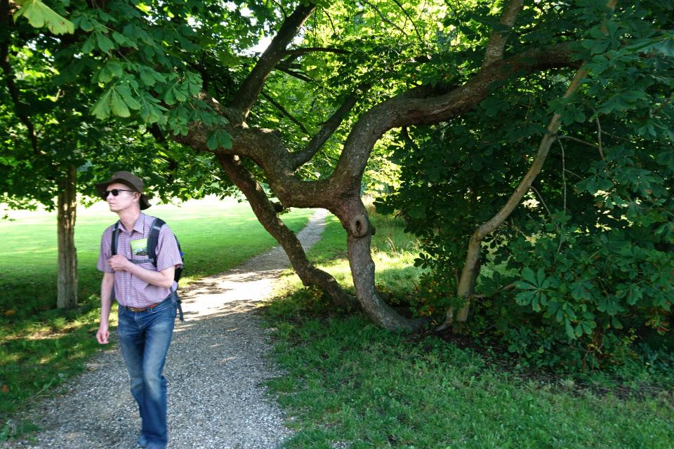 Укоренившаяся ветка, от которой выросло новое дерево (справа)