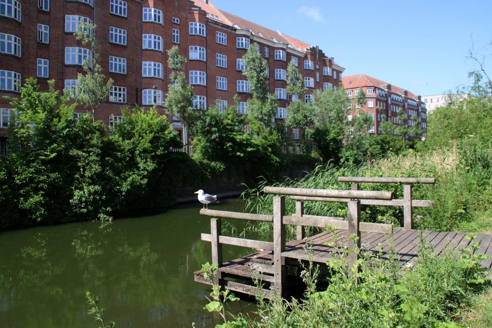 Река Århus Å, поросшая дикими растениями в самом центре города Орхус, Дания