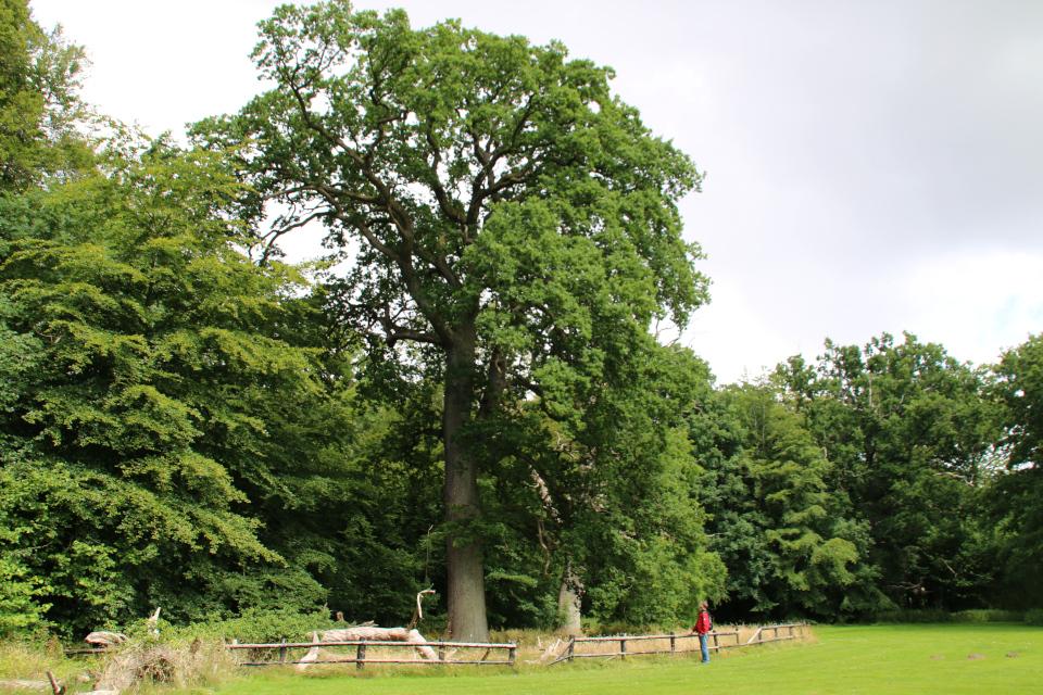 Высокий дуб - потомок старого дуба замка Боллер (слева)