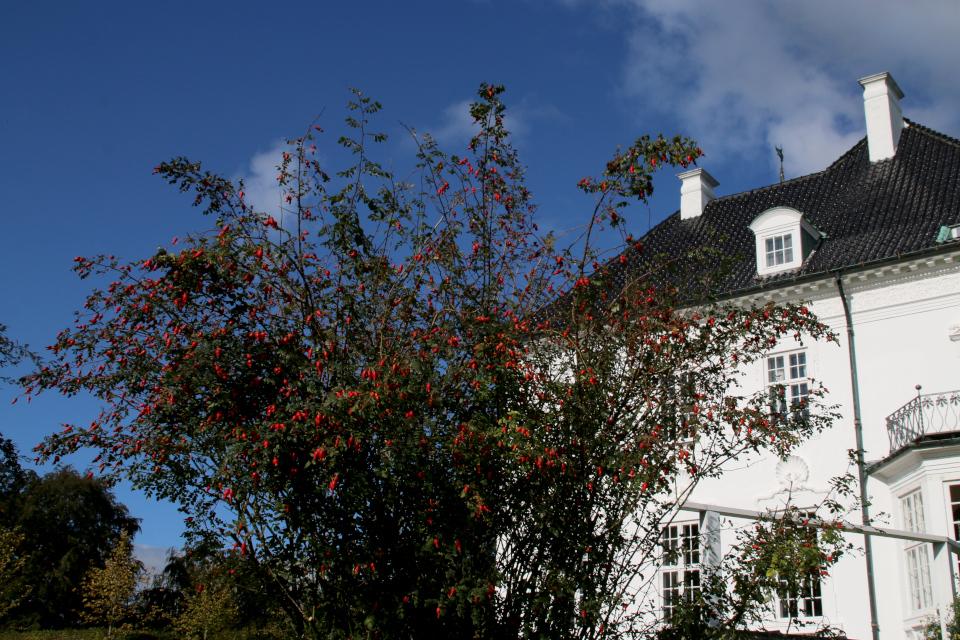 Развесистый куст розы с плодами перед дворцом Марселисборг