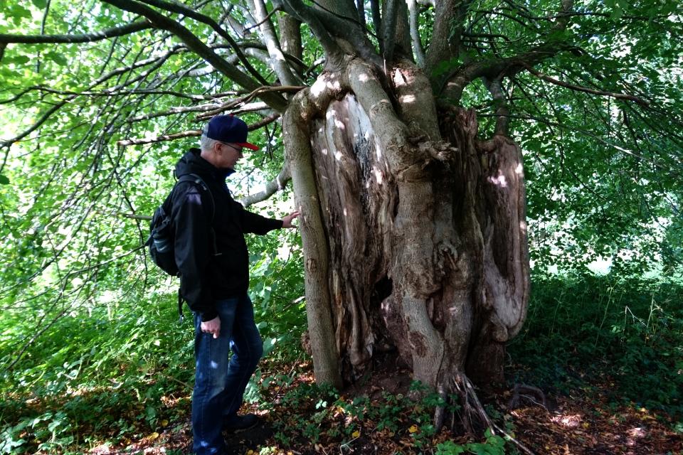 Ствол старой липы, растущей у входа в парк замка Боллер