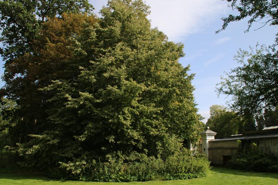 Липа замка Боллер, растущая у входа в парк. Фото 15 сент. 2019, г. Хорсенс / Horsens, Дания