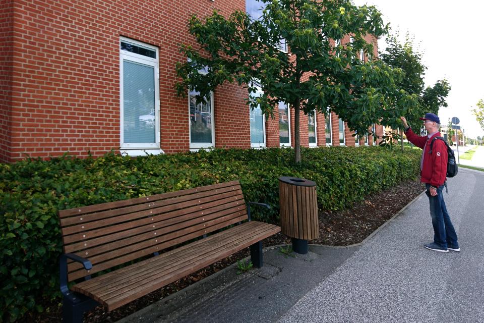 Каштан мягчайший (лат. Castanea mollissima) с плодами в больничном городке