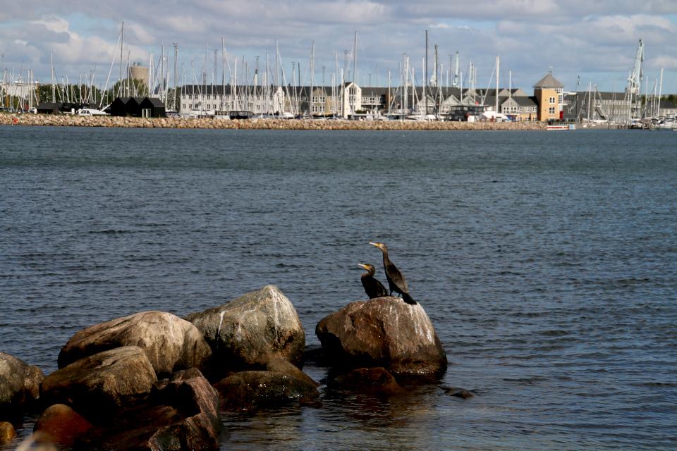 Большие бакланы на камнях возле морского порта для парусных лодок