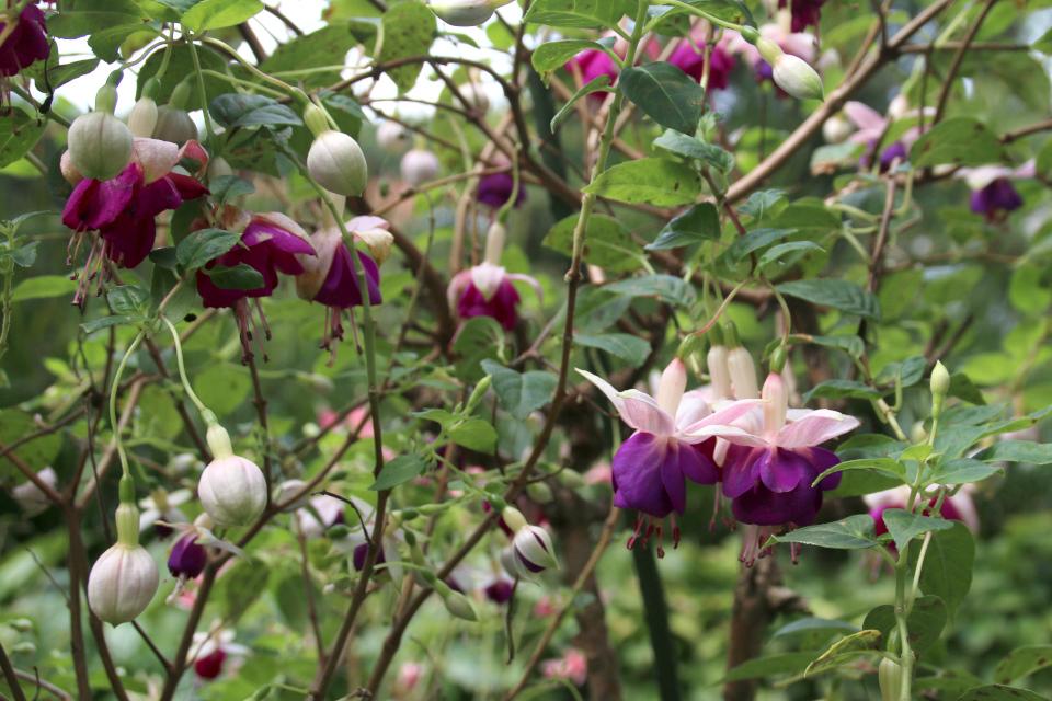 Махровые цветки фуксий в парке замка Боллер