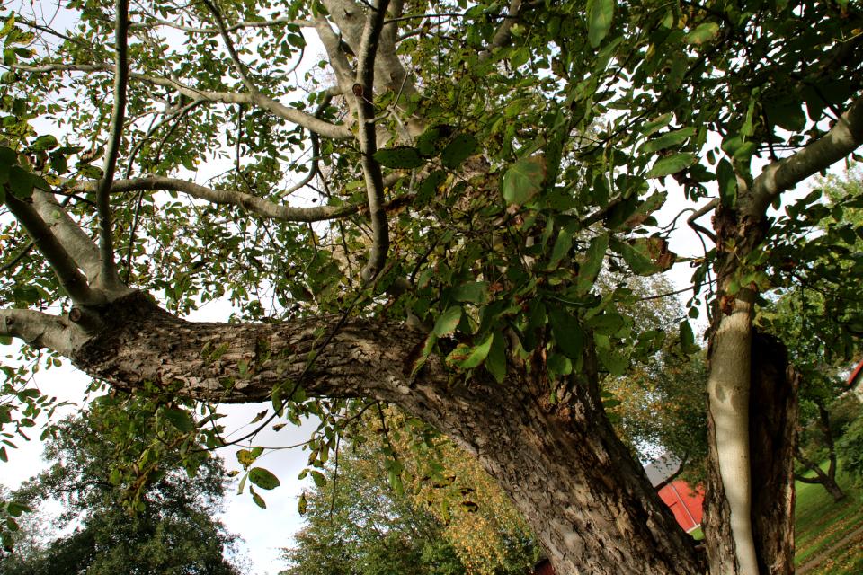 Новые ветки грецкого ореха Г.Х. Андерсена. Фото 1 окт. 2019, г. Хобро / Hobro, Дания