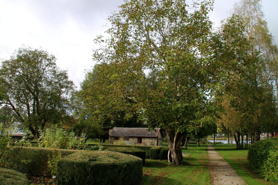 Два грецких ореха в парке возле центра пива (Biecentret). Фото 1 окт. 2019, г. Хобро