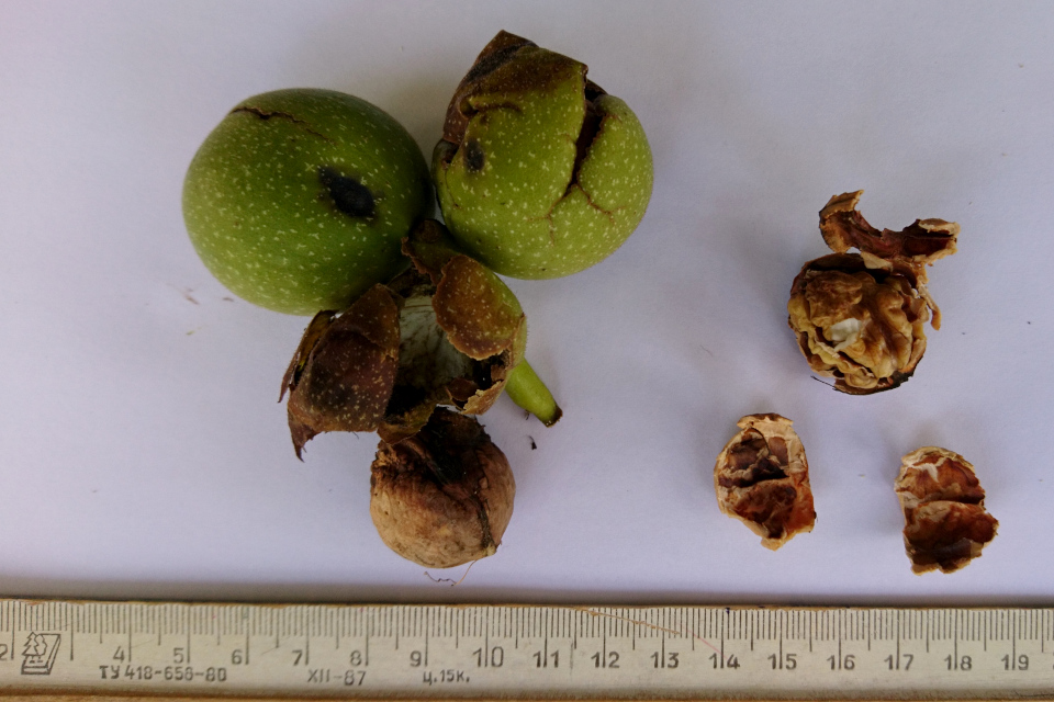 Размеры орехов с тонкой скорлупой. Фото 26 авг. 2018, мой сад, г. Хойбьяу / Højbjerg, Дания