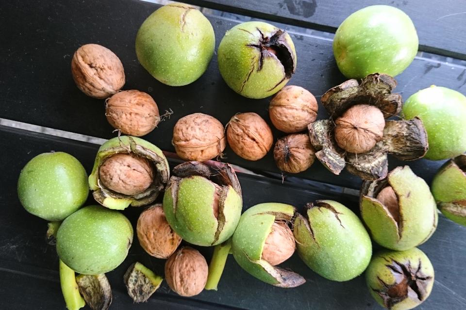 Плоды грецкого ореха, сорт с тонкой скорлупой, 8, мой сад, г. Хойбьяу / Højbjerg, Дания