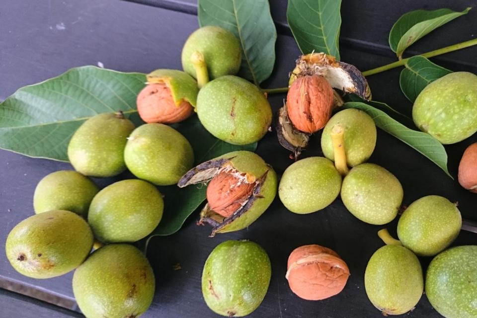 Плоды грецкого ореха, сорт Geisenheim 139, г. Хойбьяу / Højbjerg, Дания