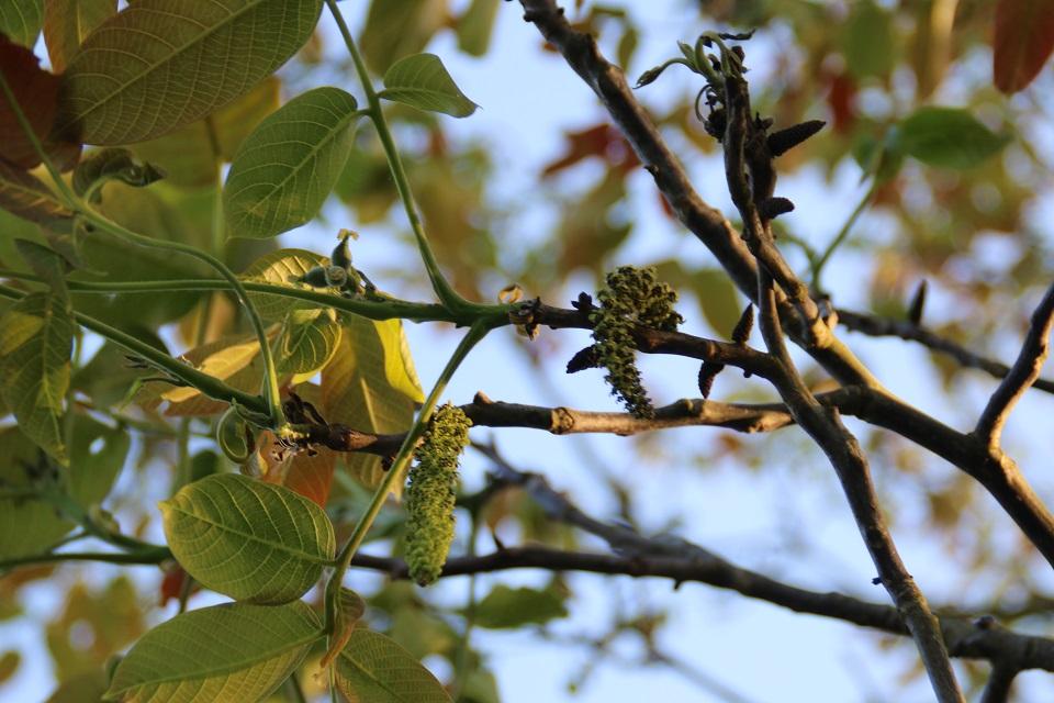 Мужские и женские цветы грецкого ореха. Фот 17 мая 2048, г. Холме / Holme, Дания