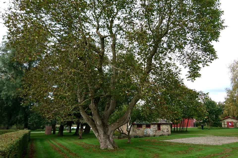 Старый грецкий орех в парке возле центра пива (Biecentret), г. Хобро, Дания