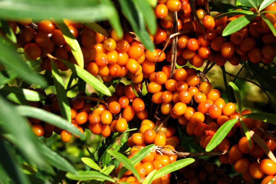 Облепиха крушиновидная (Hippophae rhamnoides) с плодами на стволах - Каулифлория
