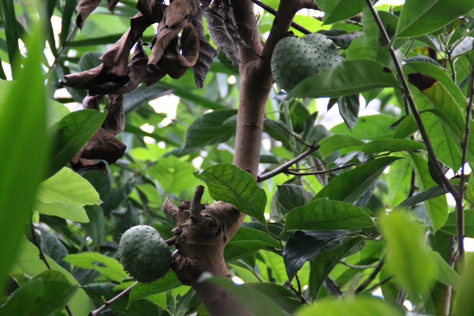 Каулифлория в тропиках Аннона горная (Annona montana)