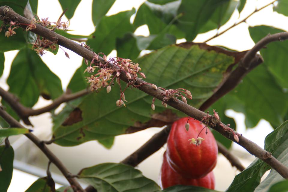 Каулифлория: Дерево какао (Какао Theobroma) - цветы и плоды на стволах