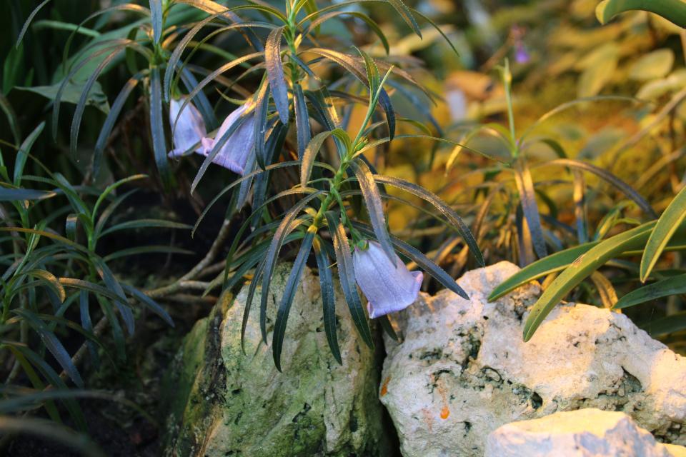 Несокодон маврикийский (Nesocodon mauritianus) в ботаническом саду г. Орхус, Дания
