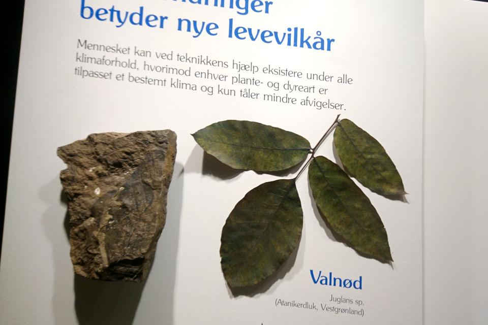 Окаменелость с отпечатками листьев грецкого ореха, найденная в Гренландии. Фото 29 авг. 2021, Музей естественной истории, г. Орхус, Дания