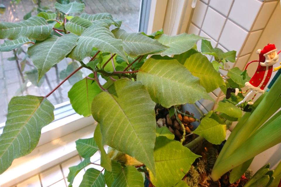 Пуансеттия с зелеными листьями, не получившая необходимый световой режим