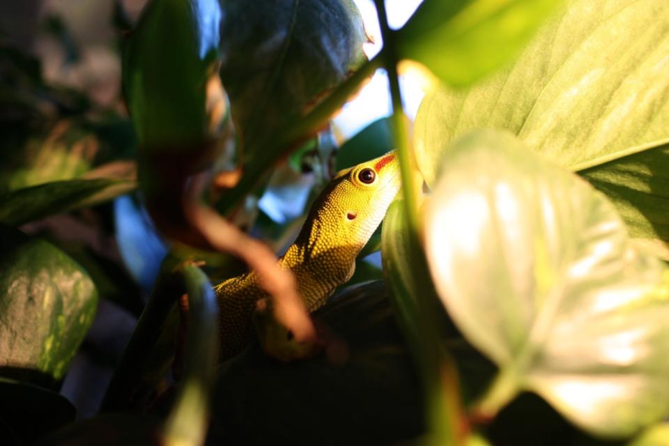 Ящерица геккон или фельзум (Phelsuma gecko)