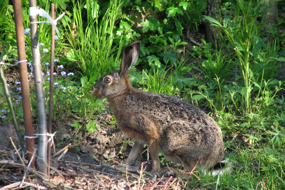 Заяц в моем саду возле саженца дерева, г. Хойбьяу / Højbjerg, Дания