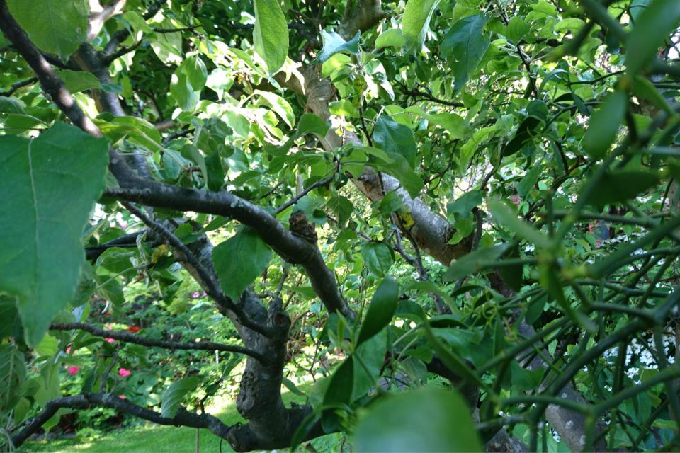 Омела белая на яблоне. Фото 2 июн. 2019, сад моего соседа Йенса