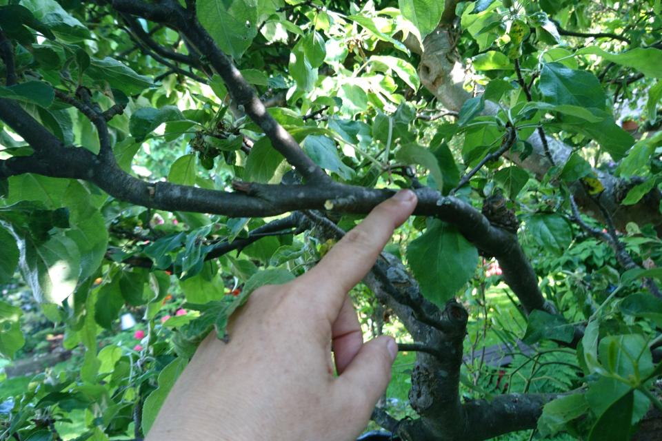 Маленький проросток омелы на яблоне