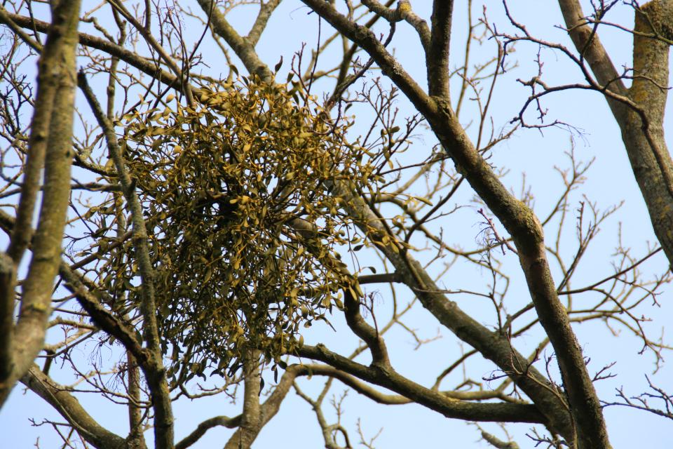 Фото с зумом дикорастущей омелы белой на дереве