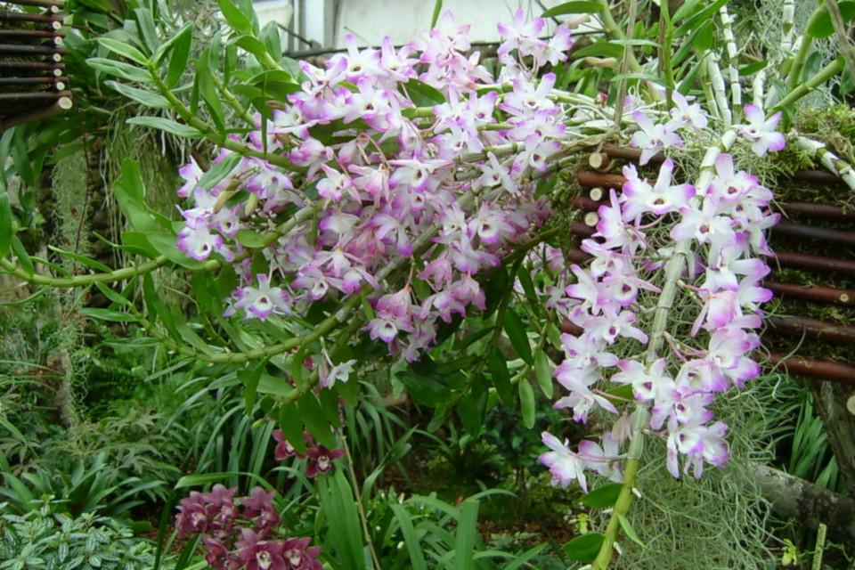 Цветы дендробиума на толстых цветоносах в тропической оранжереи