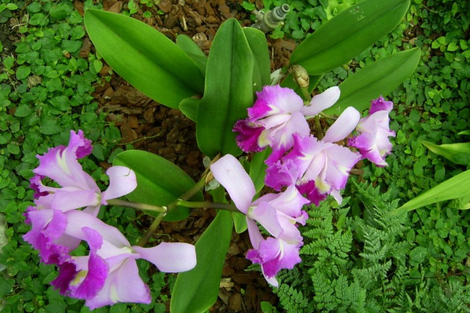 Орхидея каттлея, парк Йесперхус, Дания