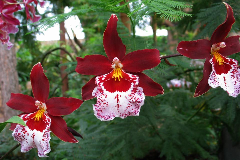 Цветущая мильтония в тропической оранжереи парка Йесперхус