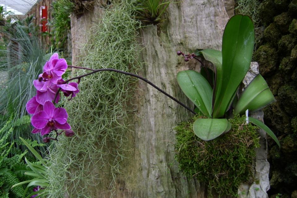 Фаленопсис - эпифит, на стволе дерева