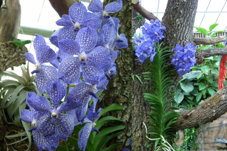 Эпифитная орхидея ванда. Фото 22 апр. 2006, парка Йесперхус