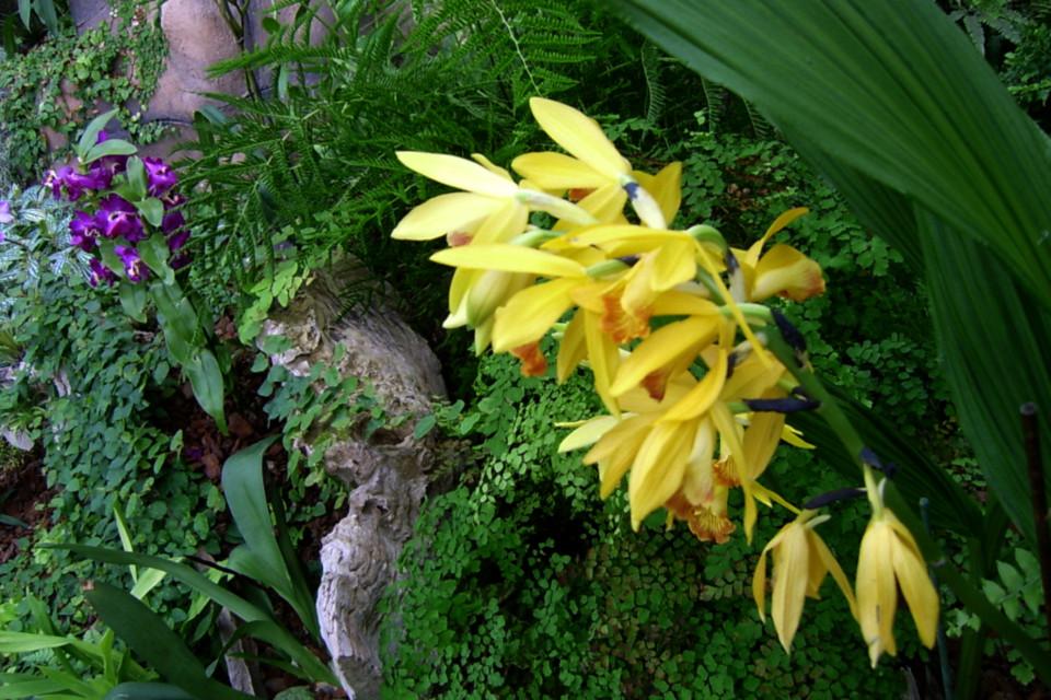 Орхидея фаюс в тропической оранжереи парка Йесперхус