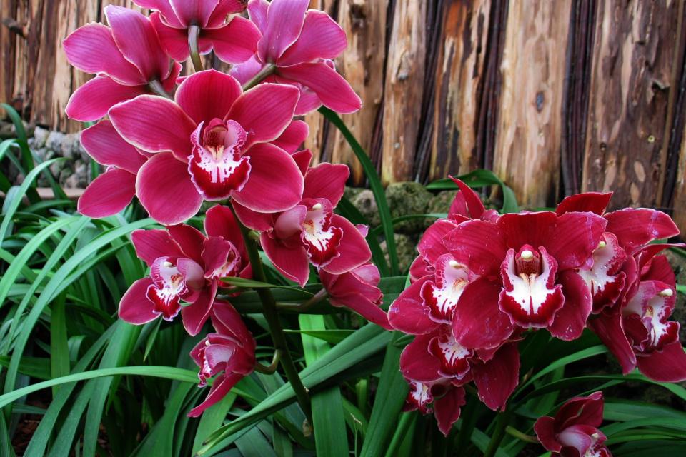 Цветущая орхидея цимбидиум в тропической оранжереи парка Йесперхус