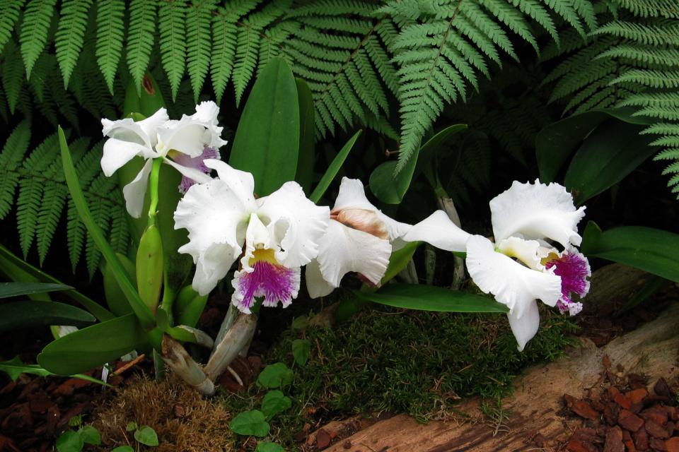 Орхидея каттлея Cattleya trianae) - национальный цветок Колумбии.