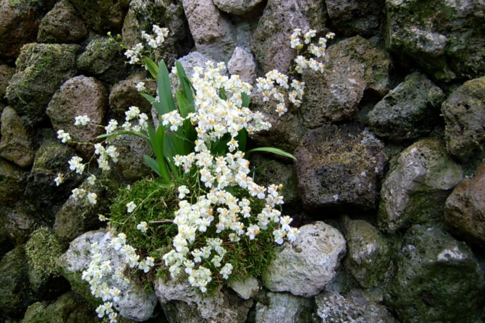 Орхидеи Онцидиум (лат. Oncidium) на стене из пористых вулканических камней