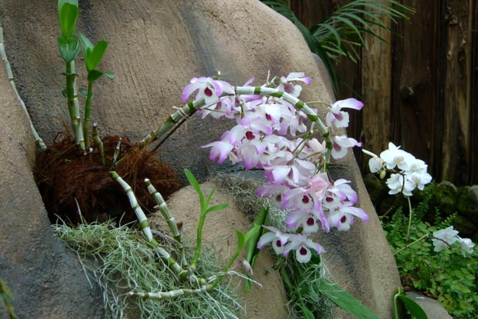 Цветущий дендробиум на скалистой горке тропической оранжереи