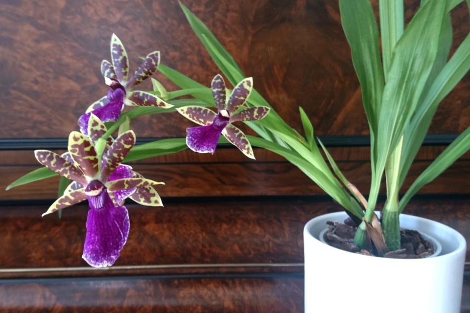 Ароматная орхидея зигопеталум (лат. Zygopetalum Louisendorf).