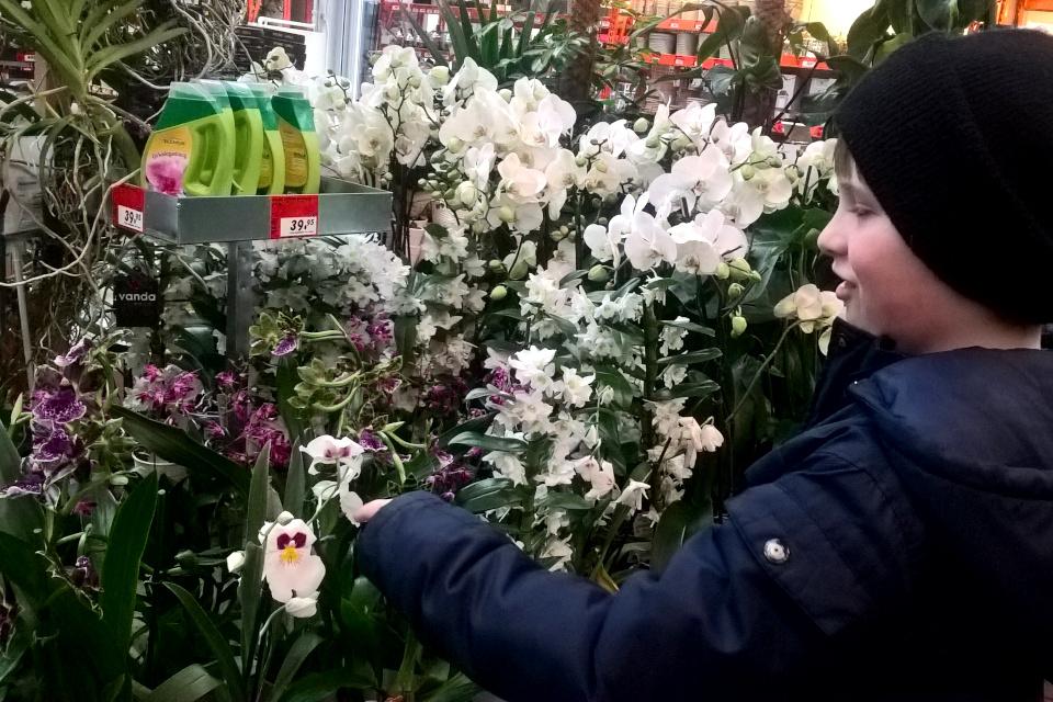Орхидеи дендробиум, фаленопсис, зигопеталум и мильтония