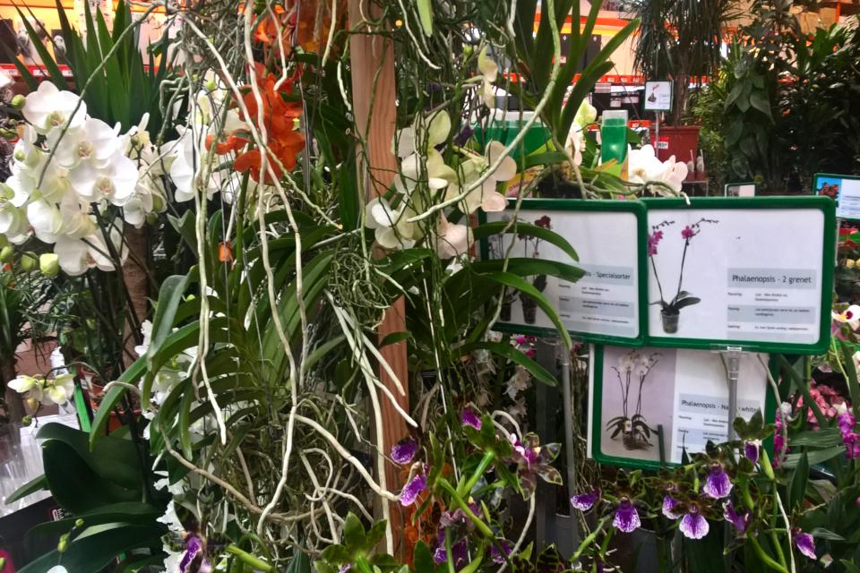 Орхидомания в Дании - тропические орхидеи продаются в торговом центре.