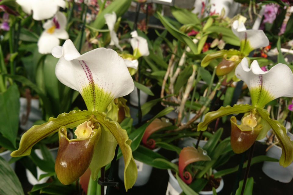Орхидея пафиопедилум или Венерин башмачок (лат. Paphiopedilum)